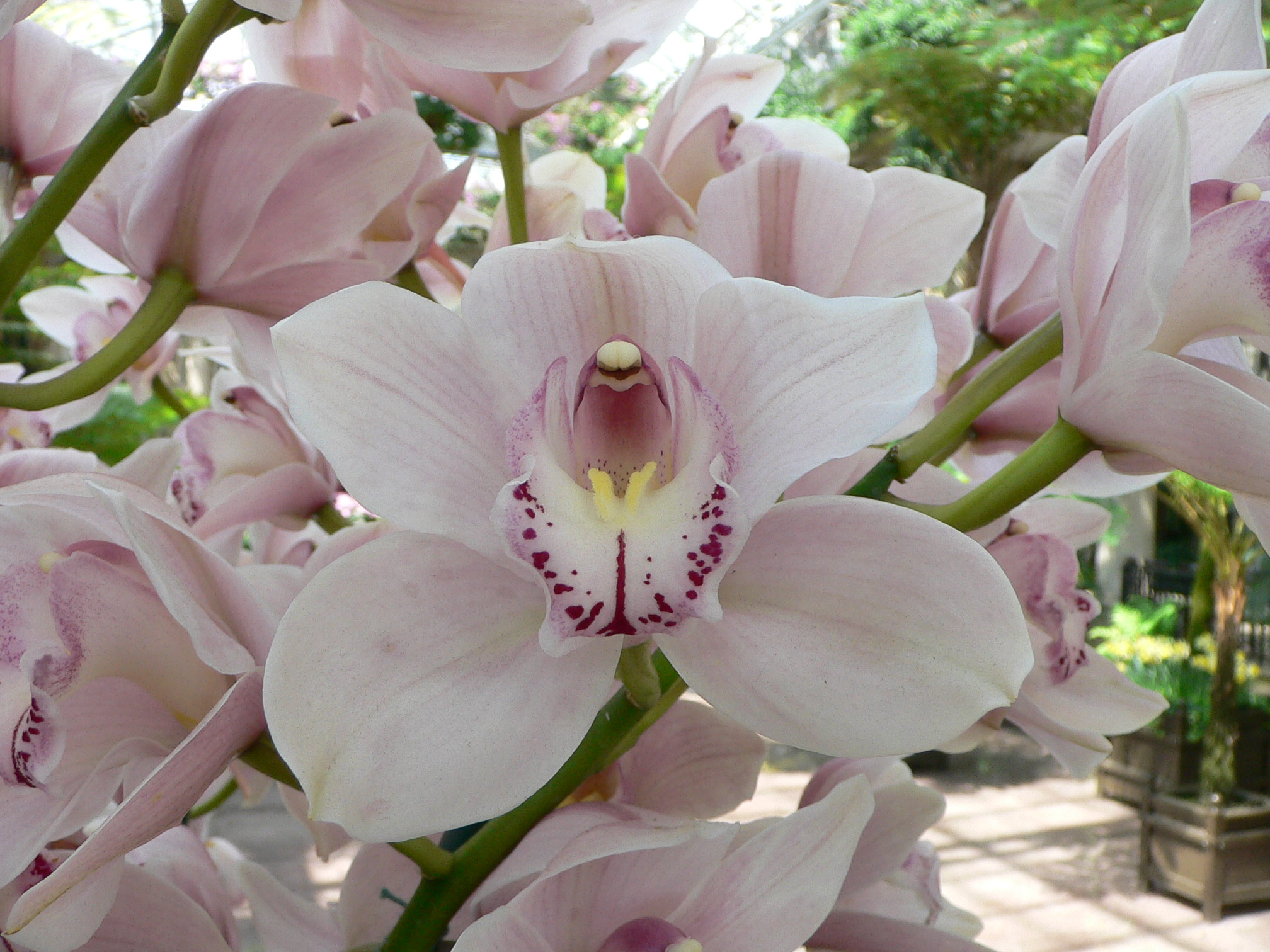 Photo: Standard cymbidium