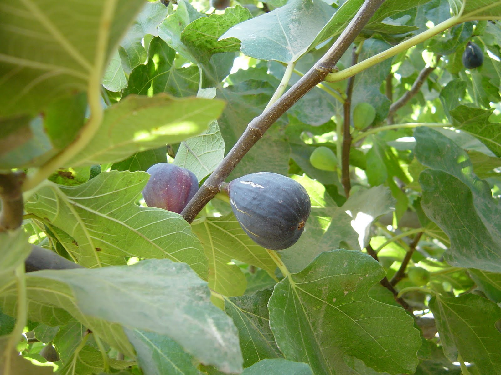 Photo: California figs