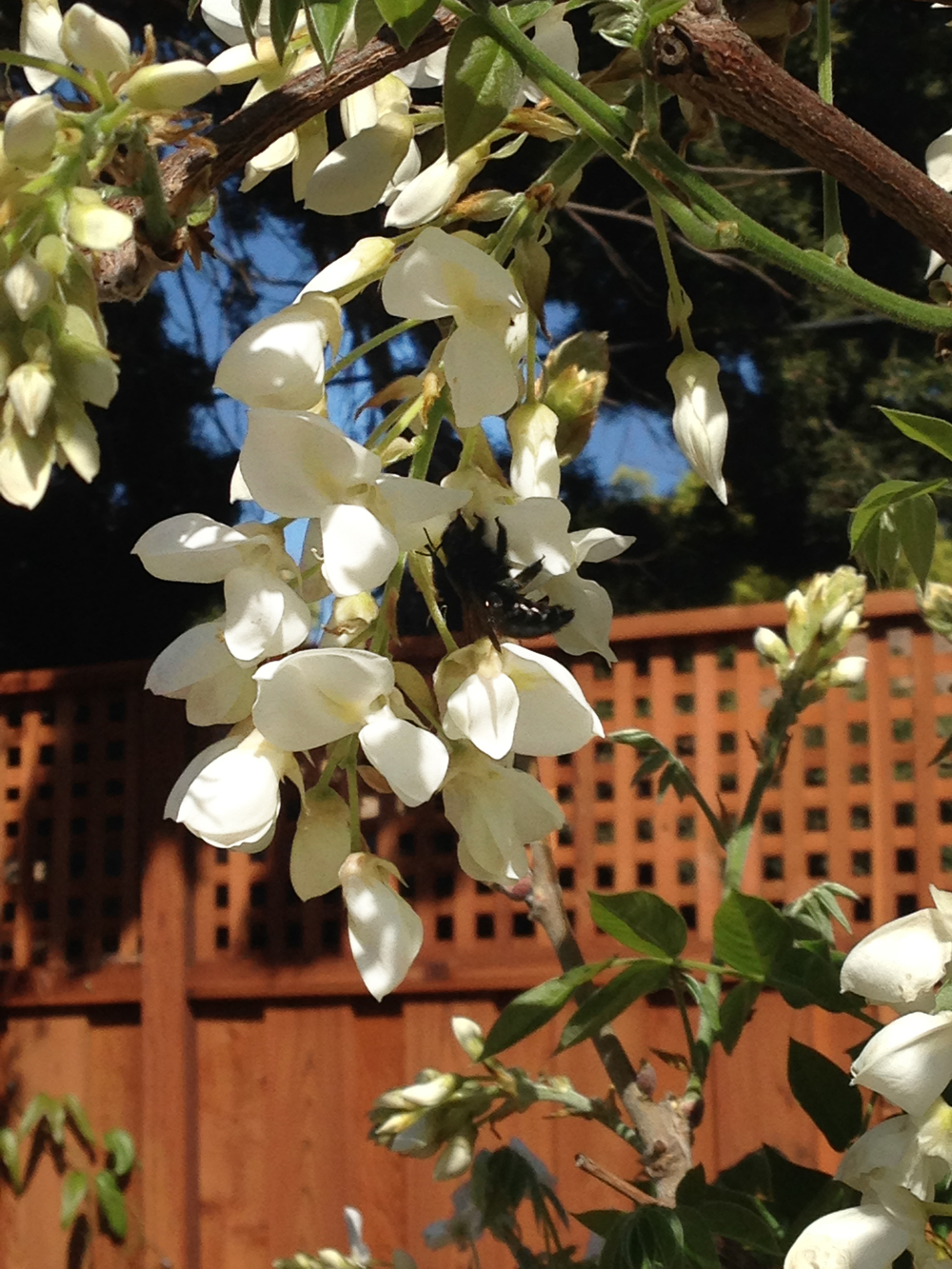 happy bee, white wisteria copy.jpg