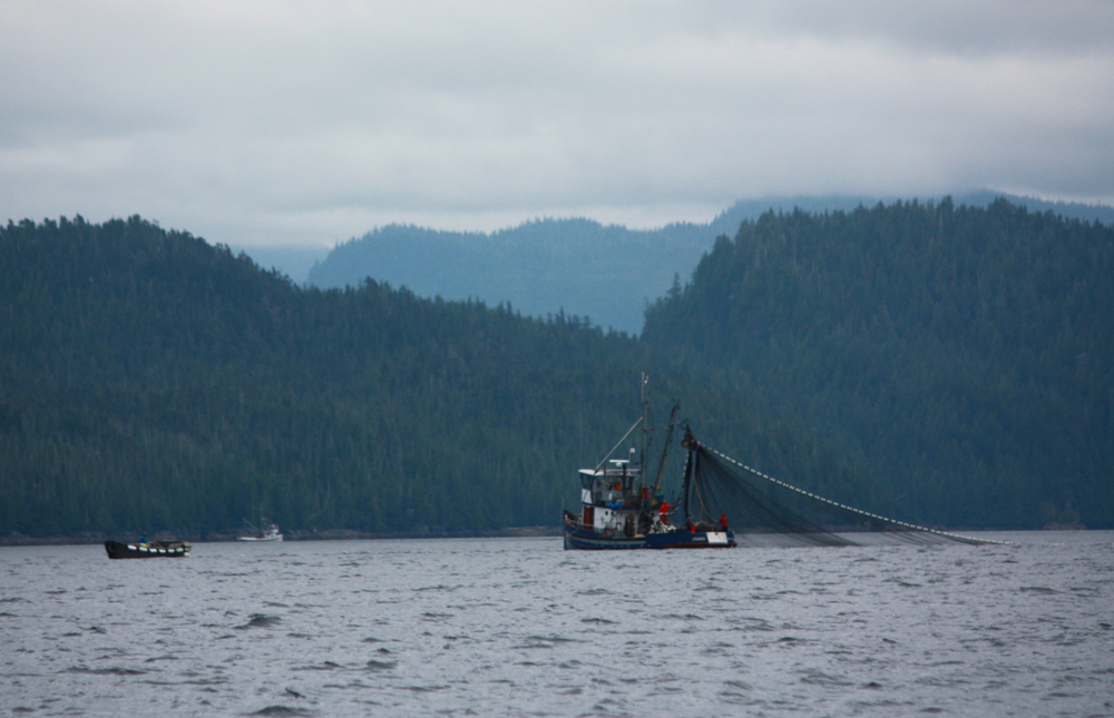 Whales were not the only wildlife at Orcas Cove, with the record pink salmon runs, we got to watch the Purse Seiners fishing at the point in August.
