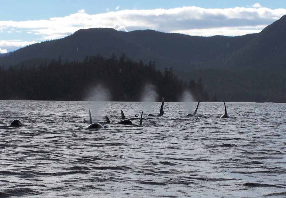 In September 2004, there was a meeting of several of the Northern Resident pods at Orcas Cove. It was an amazing day on the water with more than 30 orcas sighted.