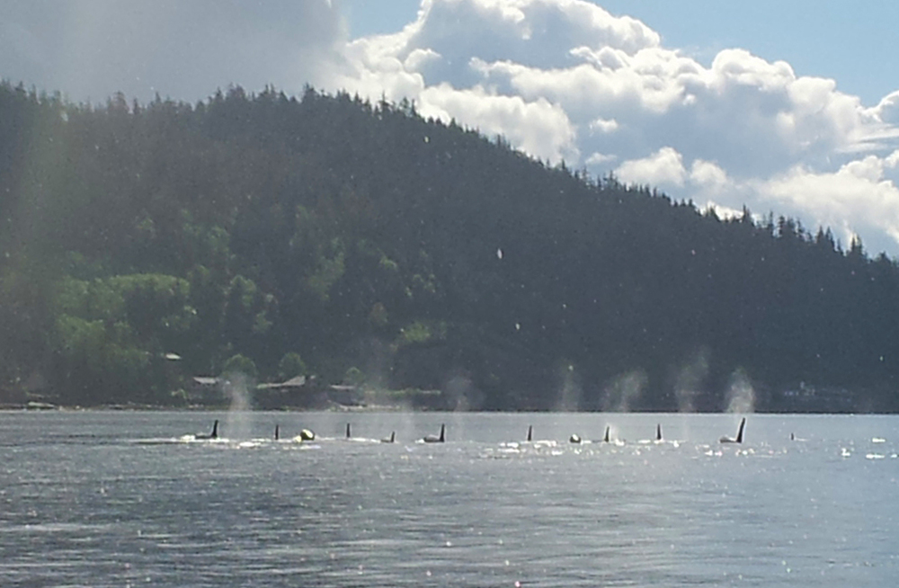 Orcas love June in Ketchikan! We spotted this group on the boat ride to Orcas Cove in June 2014.