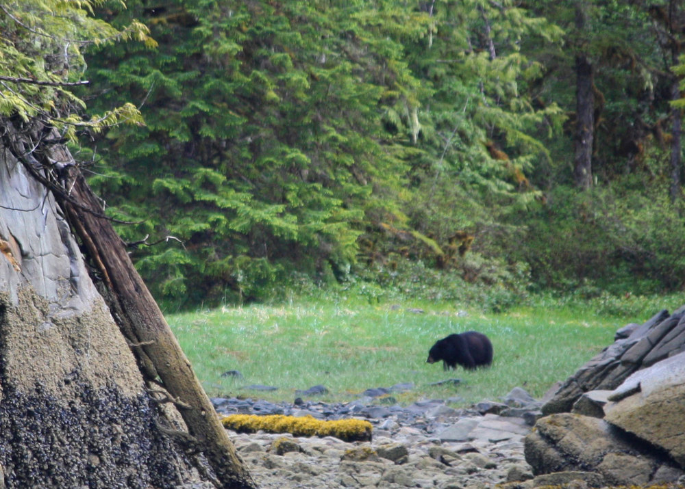 Black Bear in the Salmon Stream At Orcas Cove