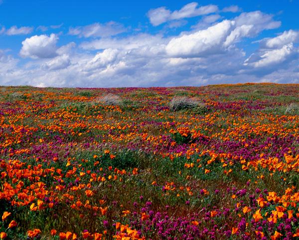 05-Flower-Carpet-may_lg.jpg