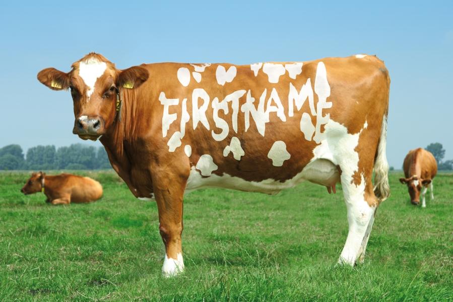 Aug - Cow