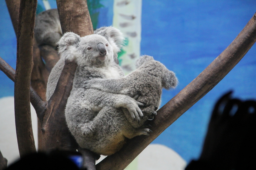 Huge Koala exhibits!