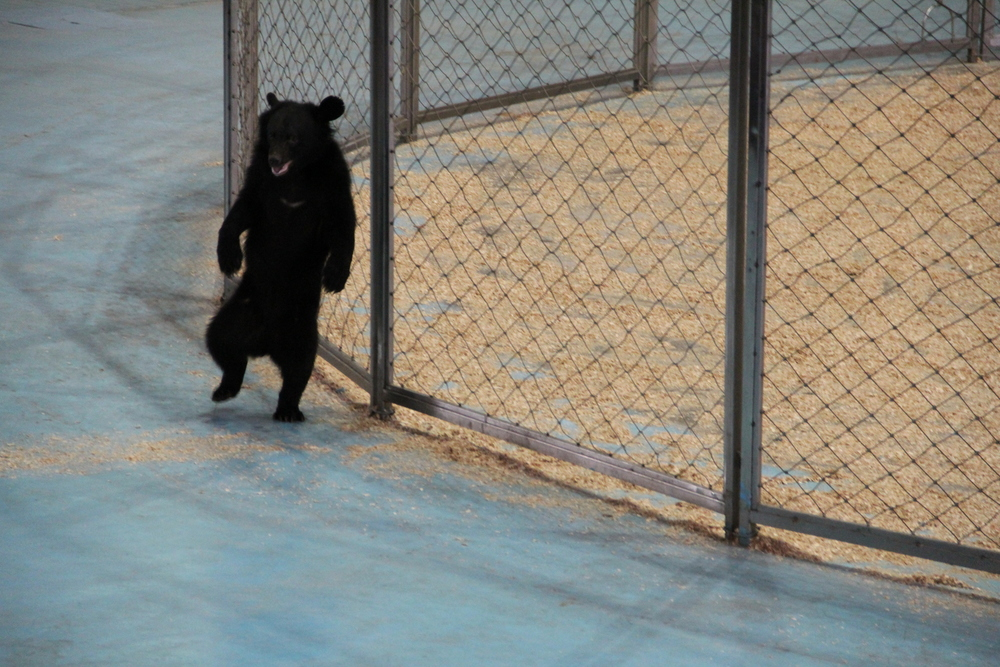 A bear that ran around the tiger cage at the Tiger show.  He was well trained.