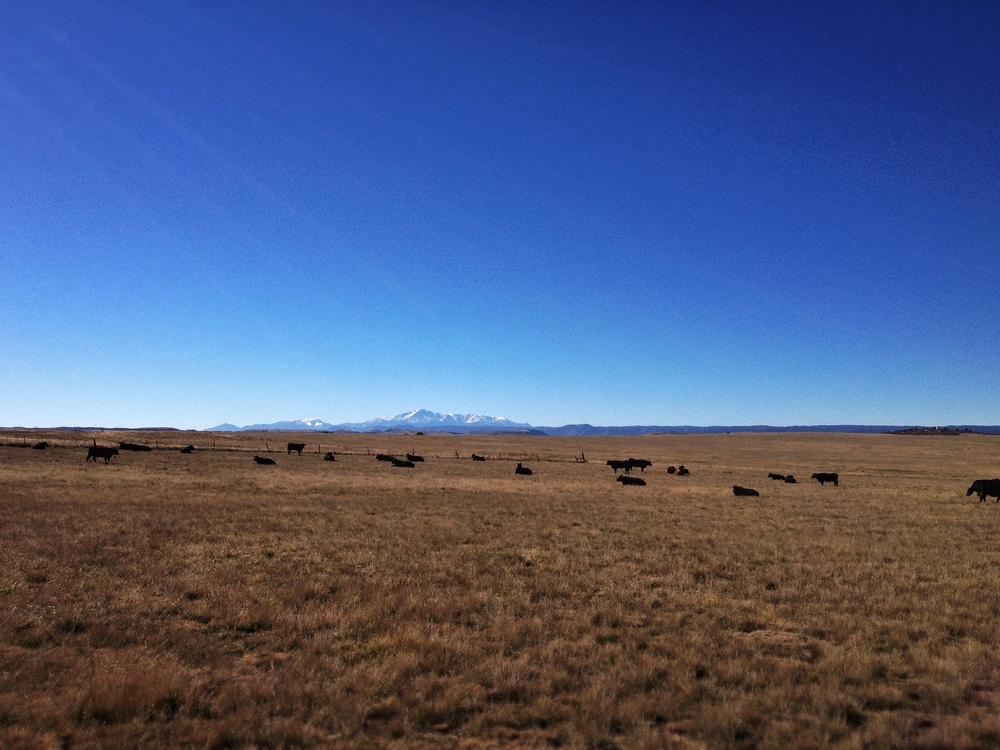 Cell phone shot reference of Harold's herd grazing at 7000' with a clear view of Pikes Peak in the background.