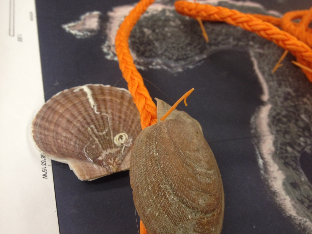 "This is one technique for growing scallops called ""ear hanging,"" which uses plastic Age-pins to secure the scallops in pairs along a line."
