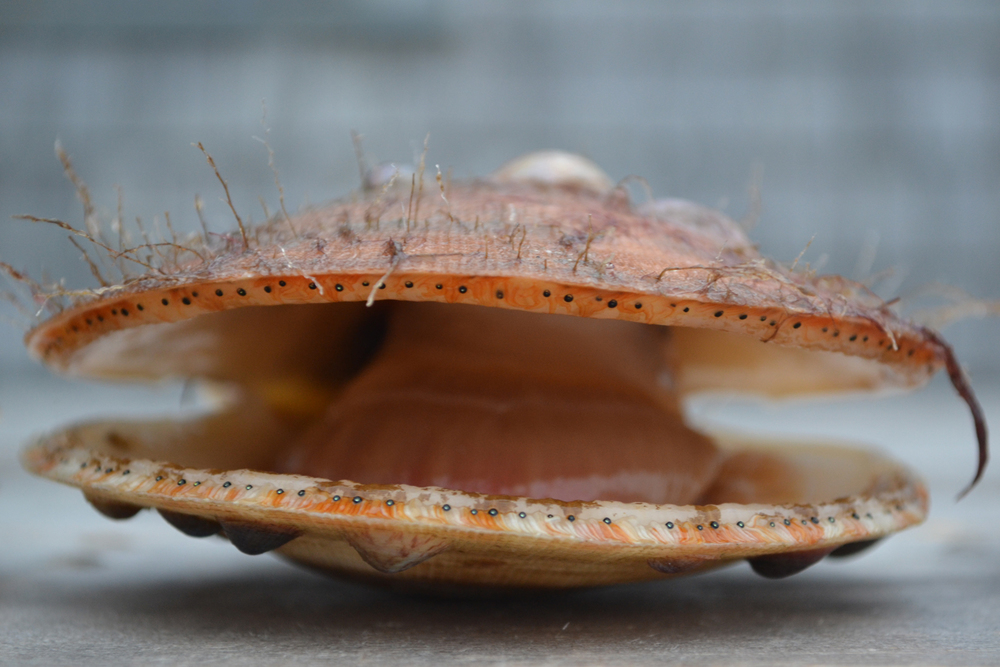 Atlantic Sea Scallop (Placopecten magellanicus)