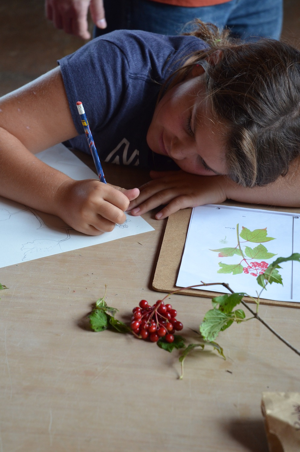 A student spends time drawing a field guide entry for her edible plant: the high-bush cranberry