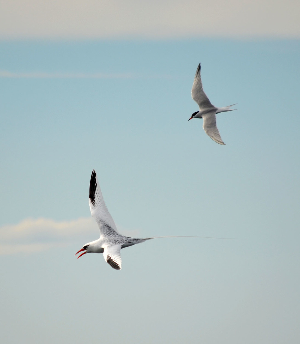 The Red-Billed Tropicbird flies next to a Tern