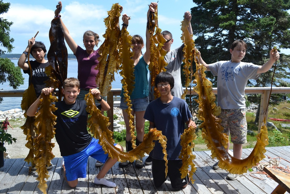 Fun with Sugar Kelp