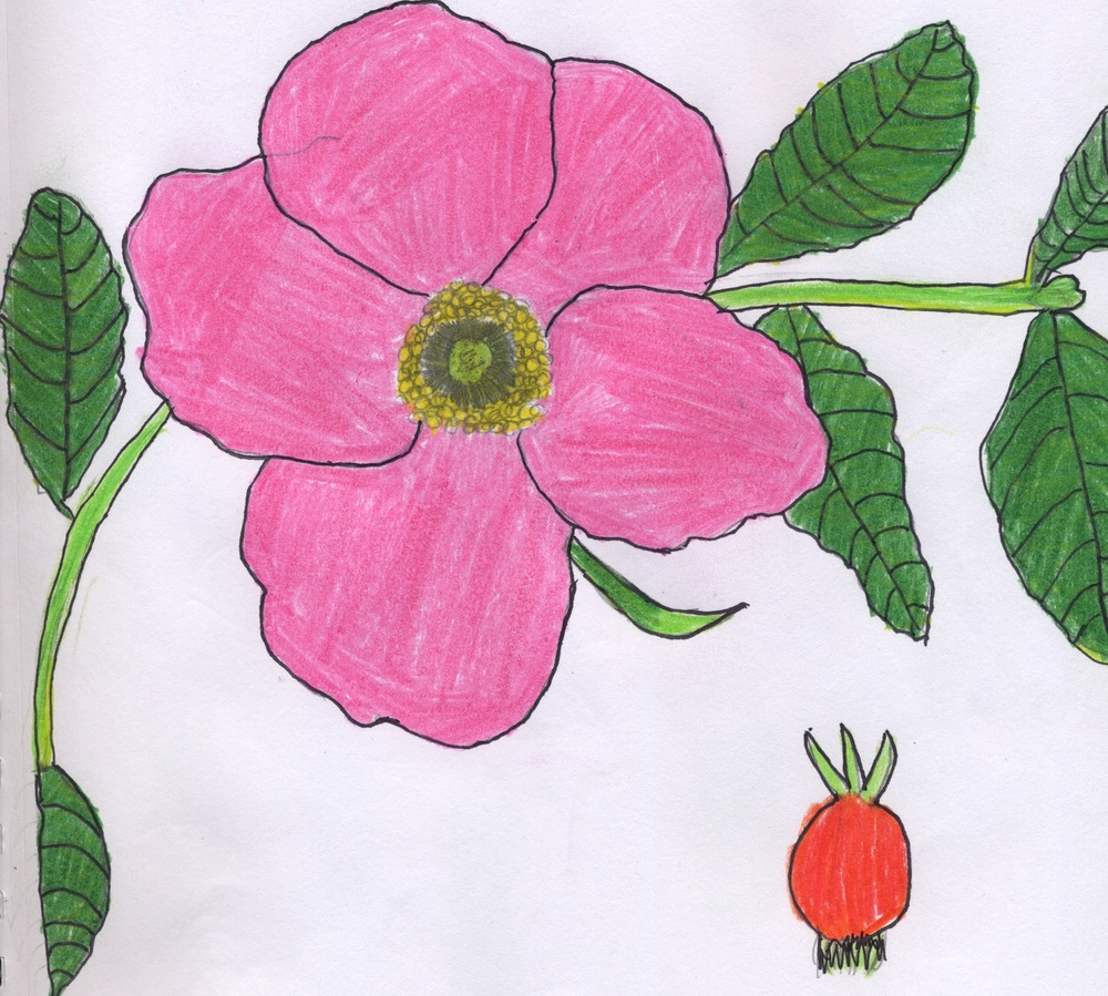 One student's field guide entry for Rosa Rugosa