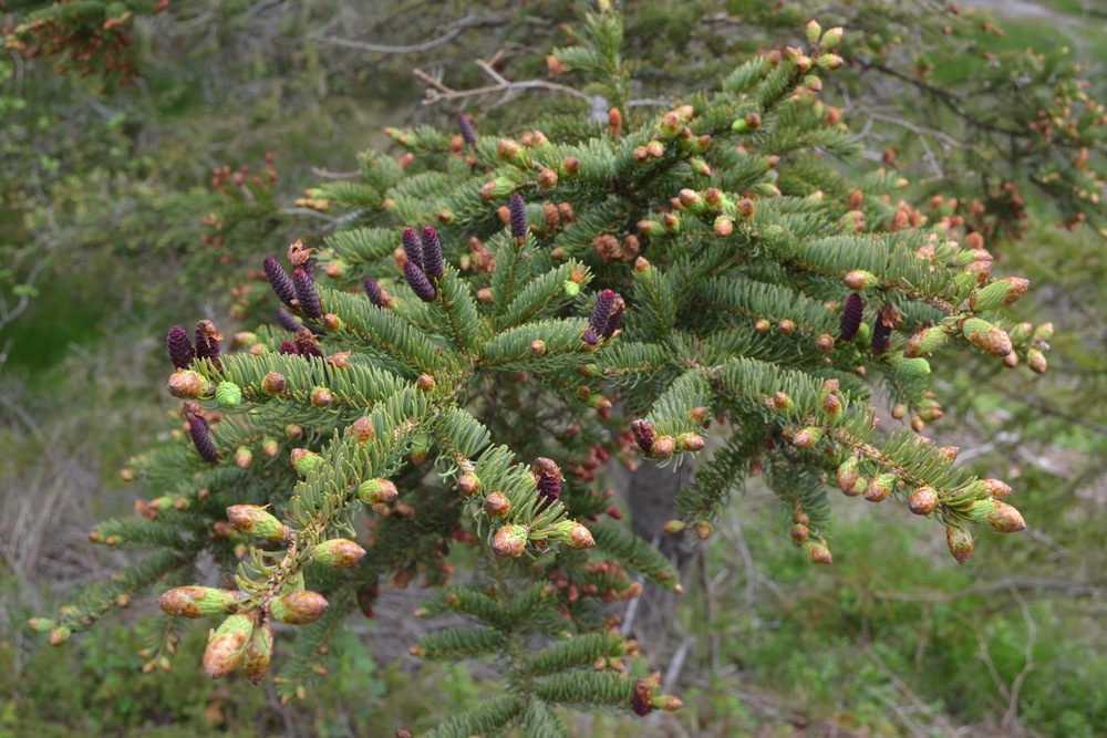 new needle growth, and immature female seed cones on a white spruce bough