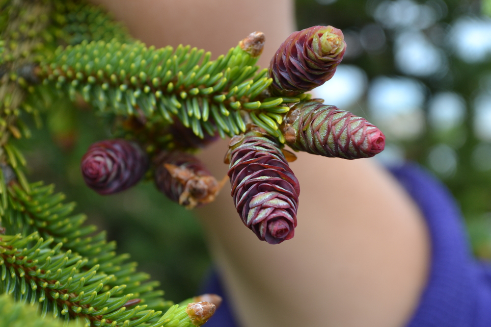 Immature female seed cones on a white spruce