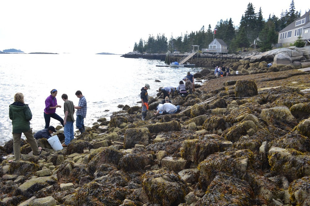 Students during the 2014  Eastern Maine Skippers kickoff event spent time in Hurricane's intertidal doing green crab research.