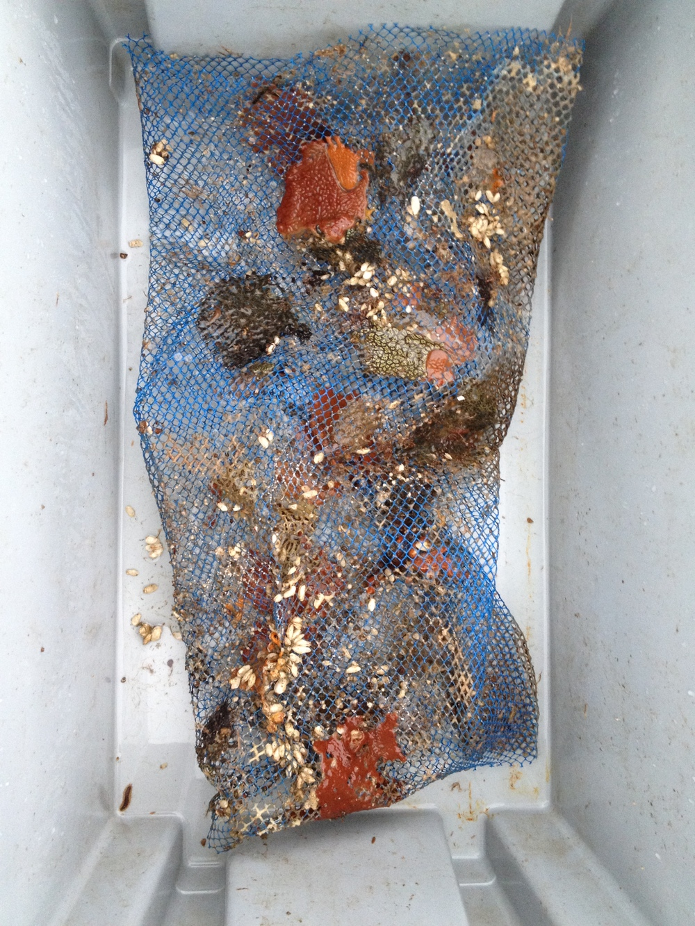 An invasive form of encrusting tunicate forms orange and black mats on the mesh. The little white shapes are clams!