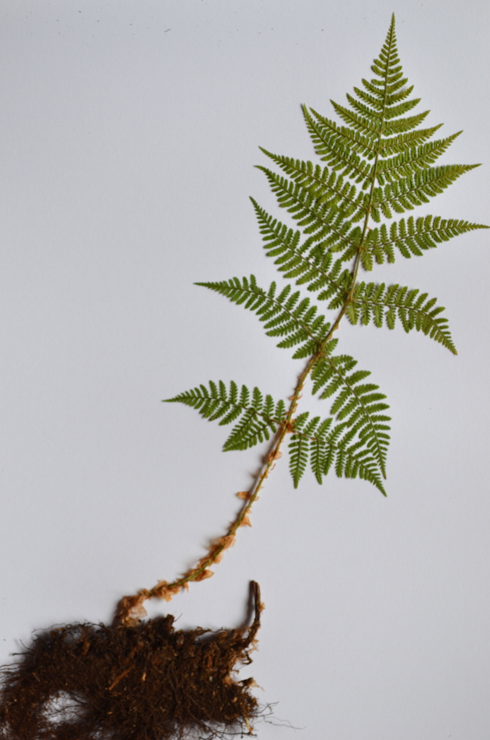 Mountain wood fern