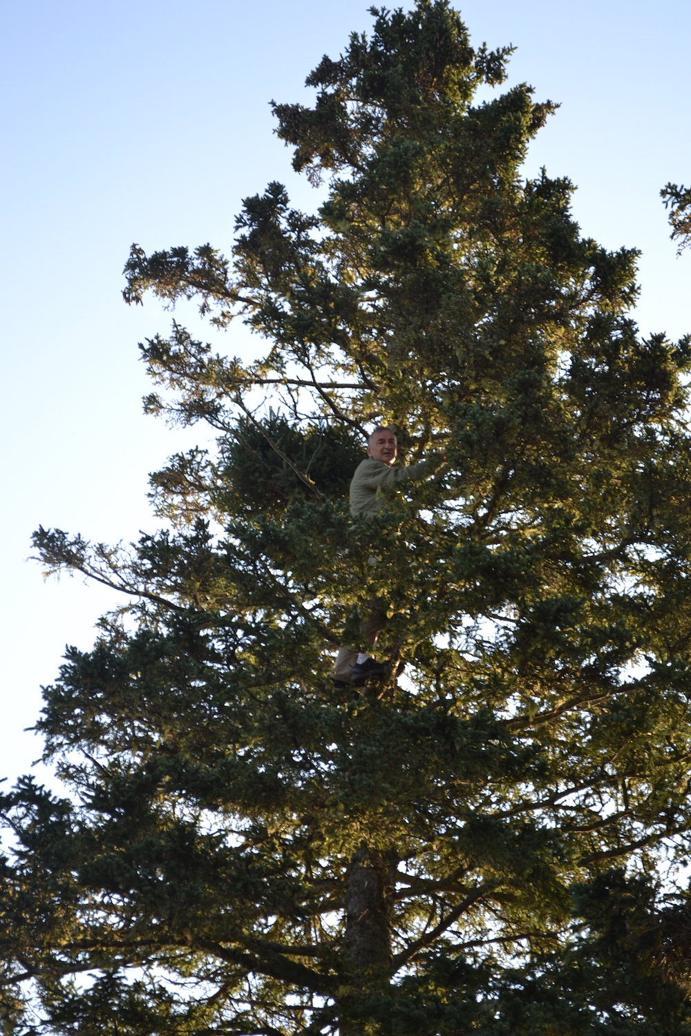 Climbing the spruce trees