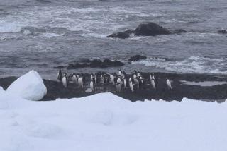 Penguins beginning their own trek across Livingston Island, Antarctica