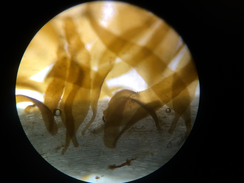Kelp under the microscope at the time it was put in the field