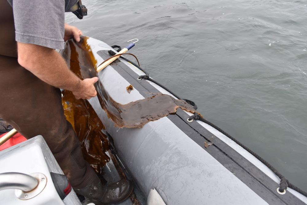 Harvesting kelp with Paul Dobbins