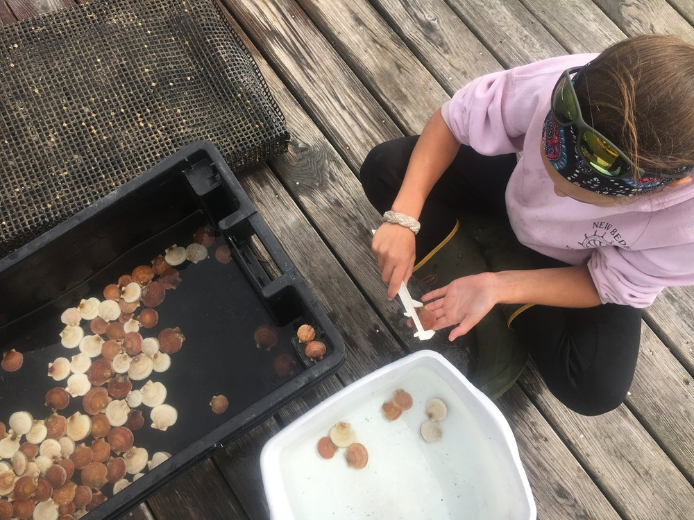 Tracking the growth rates of tagged scallops