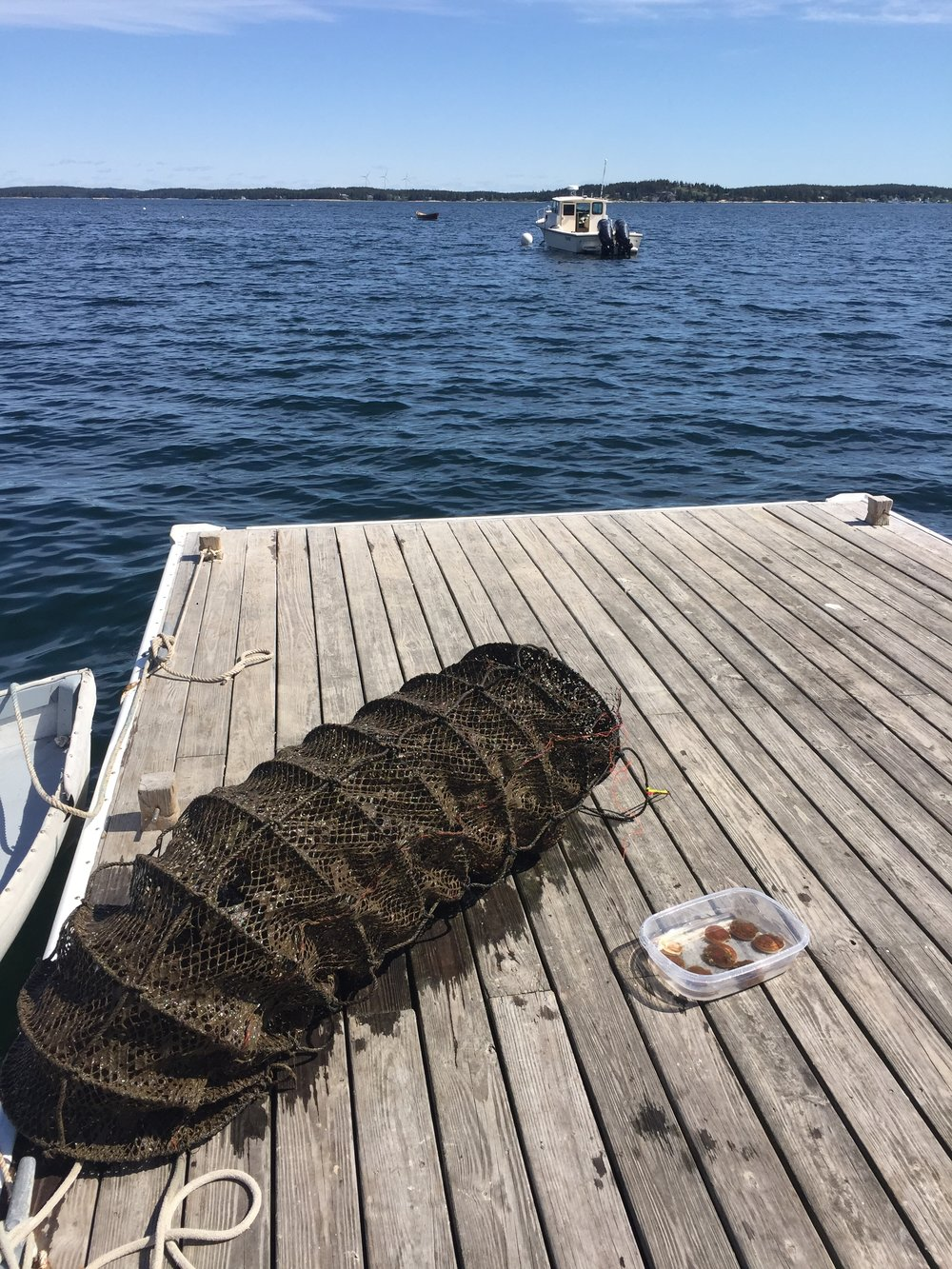 A lantern net loaded of scallops enjoys a beautiful day on the docks.