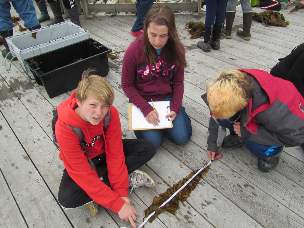 Data collection time! Students measure the length of a kelp blade from our aquaculture site.