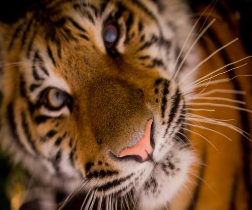tiger-passion