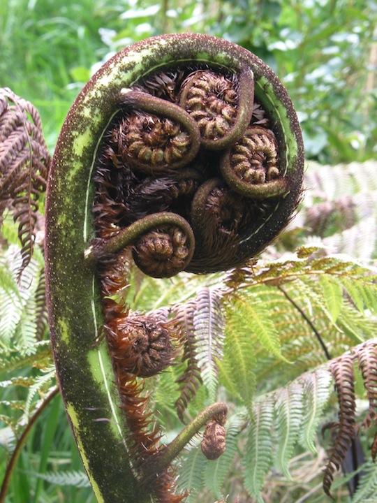 New Zealand fern.JPG