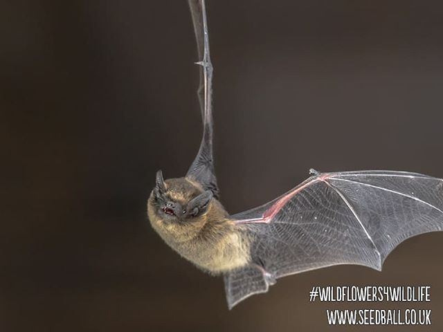 🦇🌼 6 days to Spring! 🌼🦇 . . Do you have bats in the belfry? Give them a little midnight snack with our mix to bring the nocturnal insects out! Find our Bat mix developed with @nhmlondon on our website! . . #wildflowerwarrior  #wildflowers  #wildflowerwarriors  #wildflowers4wildlife  #wildflower #bats #conservation #helpbats #savebats #wildlifegarden #wildlifegardening  #springiscoming  #springisontheway