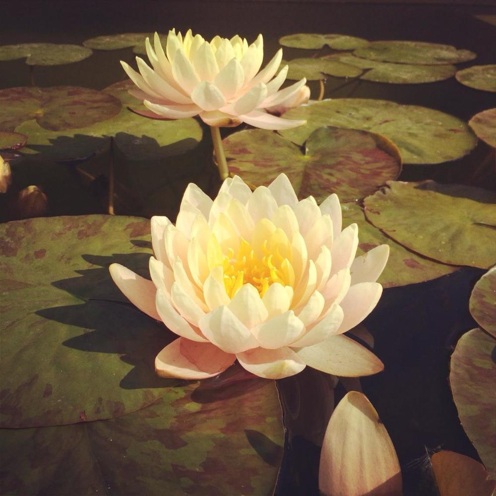 Example of water lilies that will line the Town Square water feature  (photo by J.Snyder)
