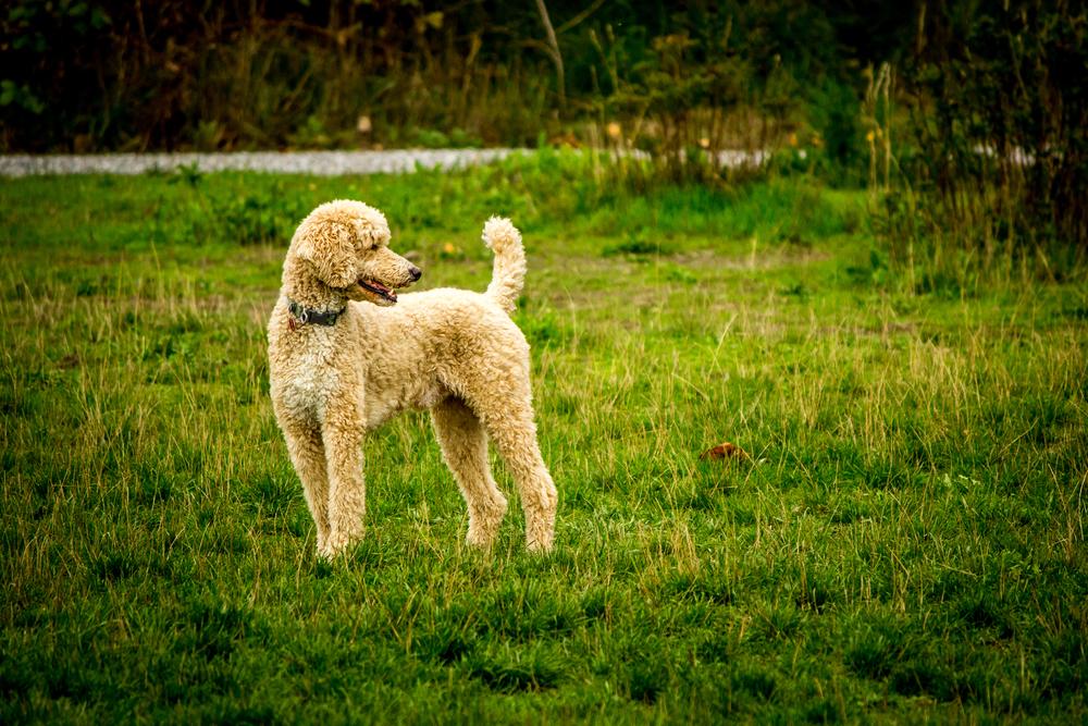 Dog Park Poodle