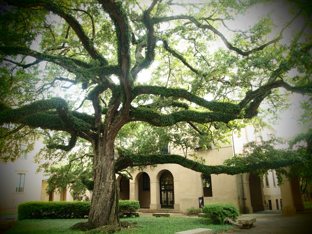 The Live Oaks at LSU