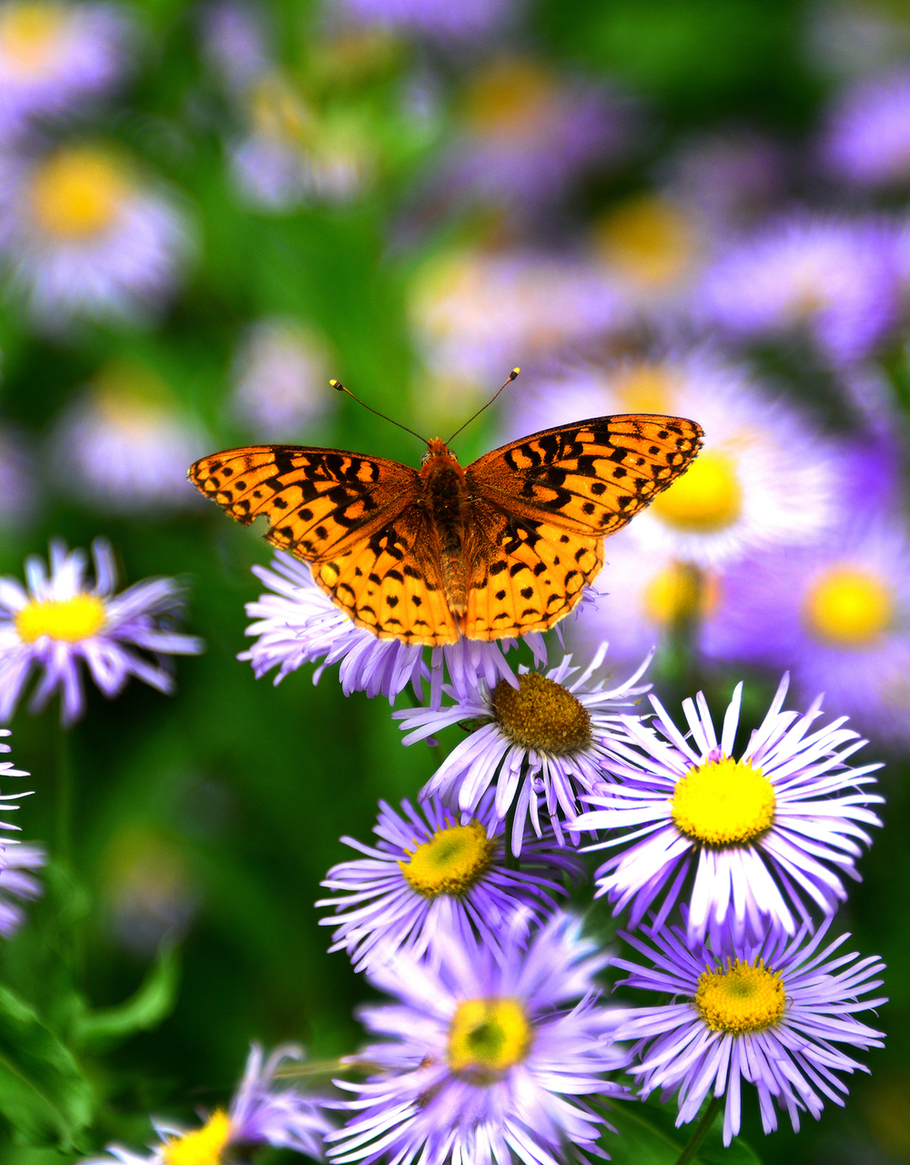 """Butterfly pauses on some Purple Asters"" near Twin Ponds, Fishlake National Forest, Utah"