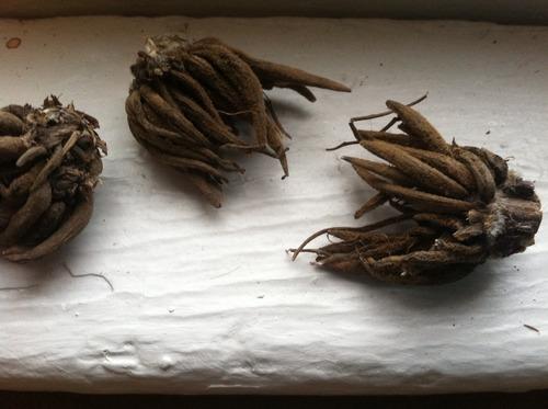 ranunculus bulbs