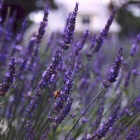 Sunshine Lavender Farm Hurdle Mills, NC www.sunshinelavenderfarm.com