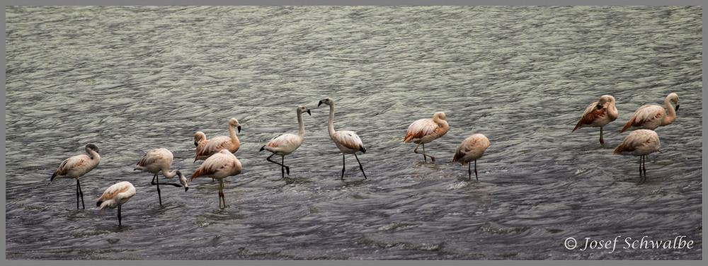 Flamingo Meeting