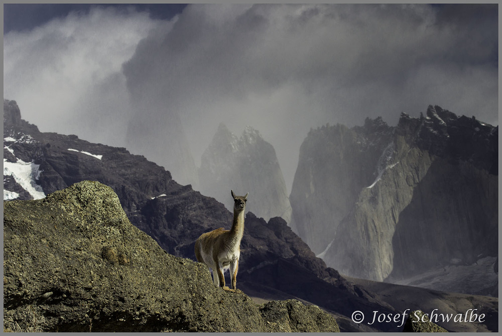 Guanaco Under the Towers