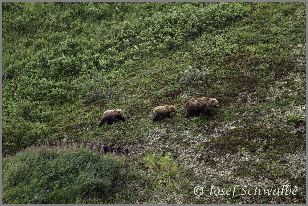 Mother and Cubs Ambling