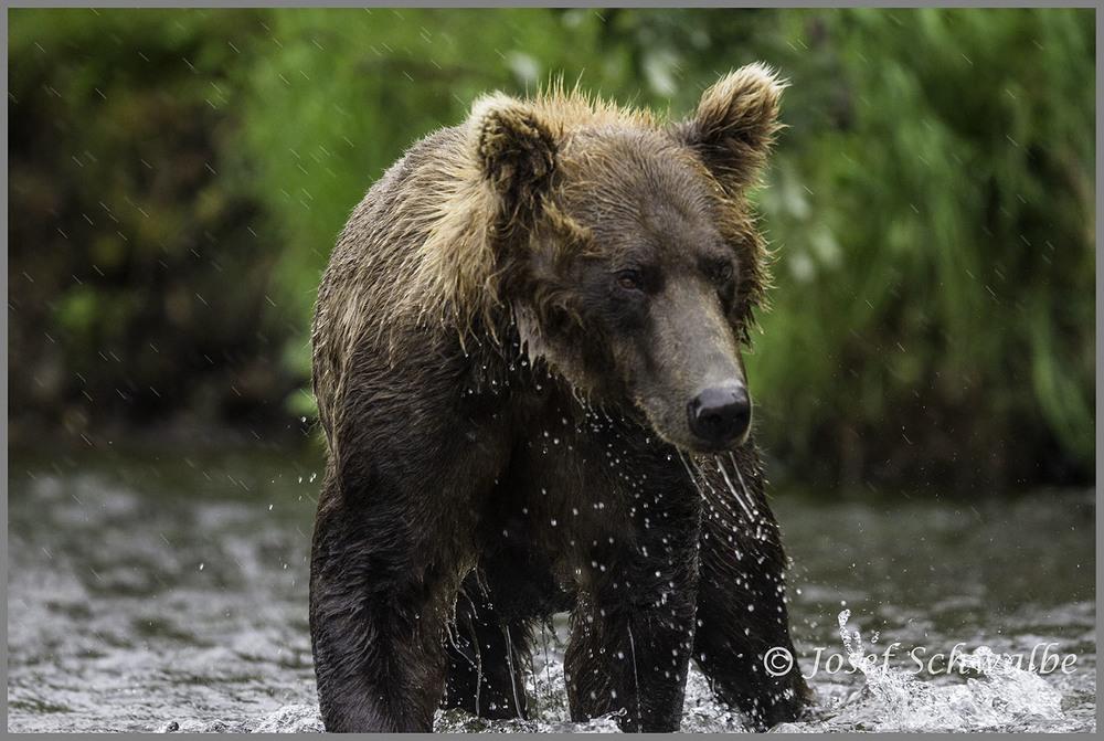 Menacing Brown Bear