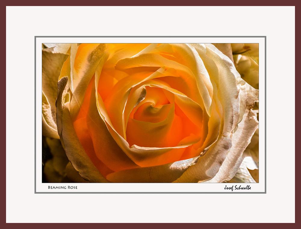 Beaming Rose