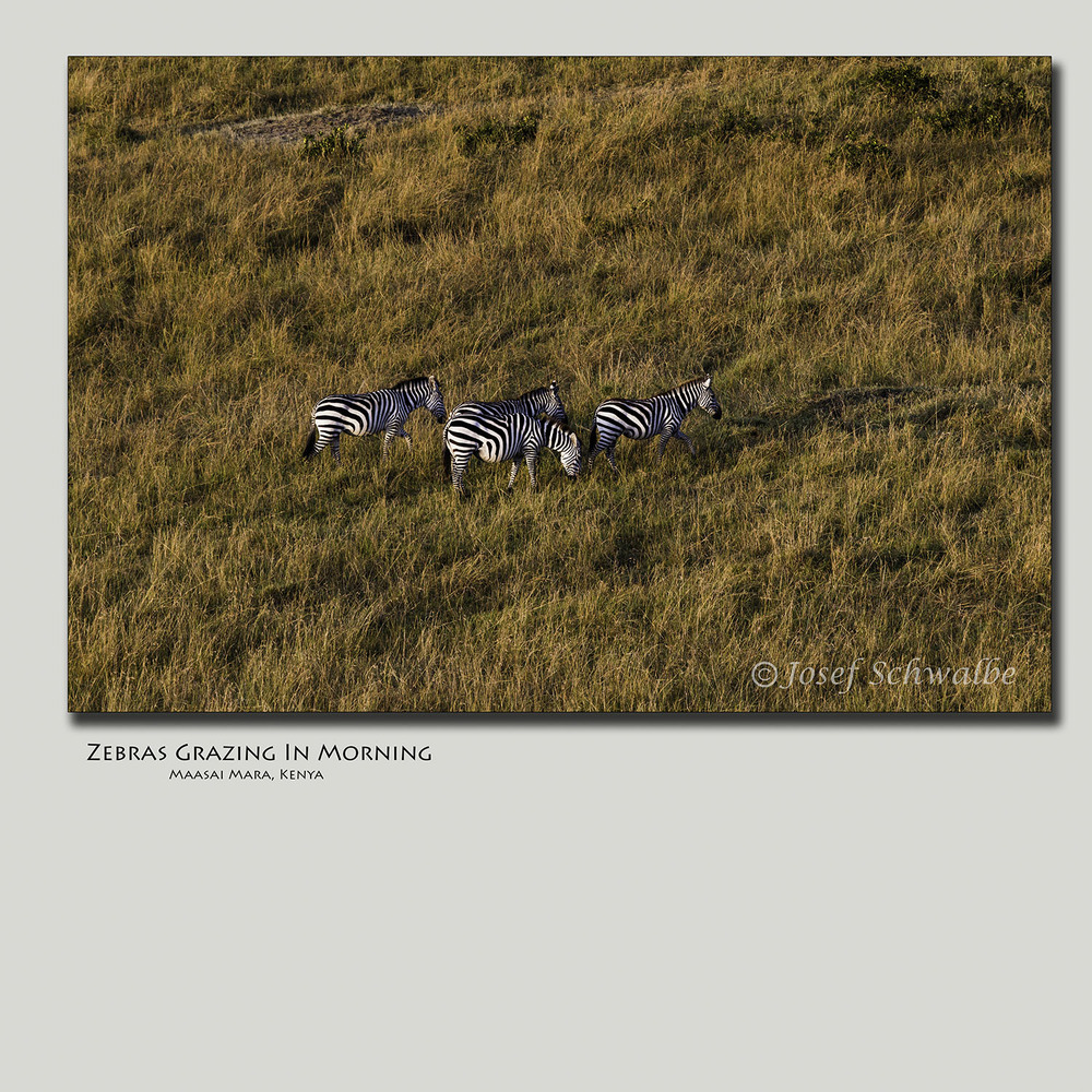 Zebras Grazing In Morning