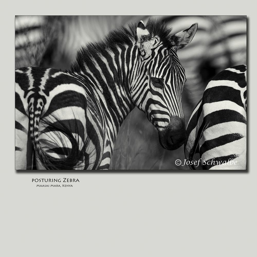 Posturing Zebra