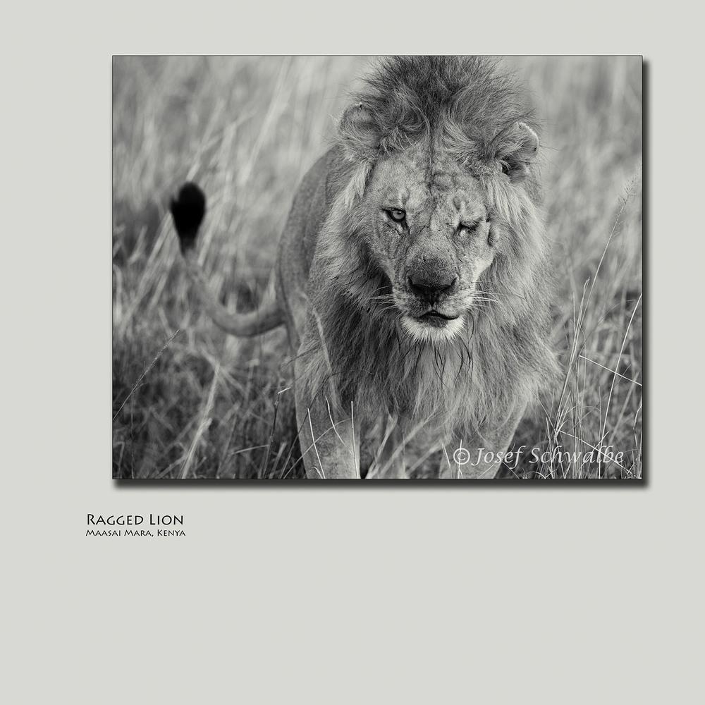 Ragged Lion