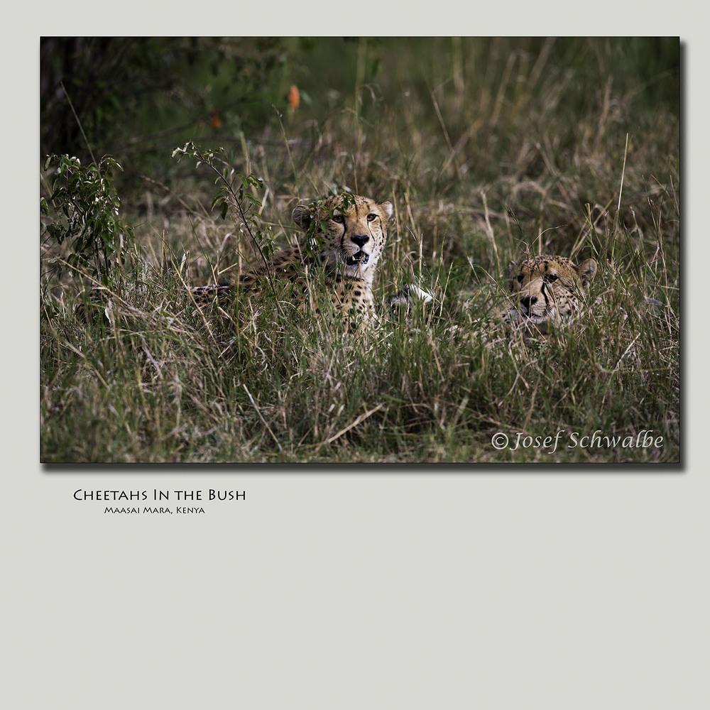 Cheetahs In the Bush