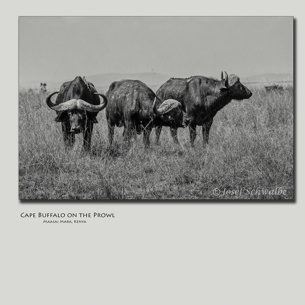 Cape Buffalo on the Prowl