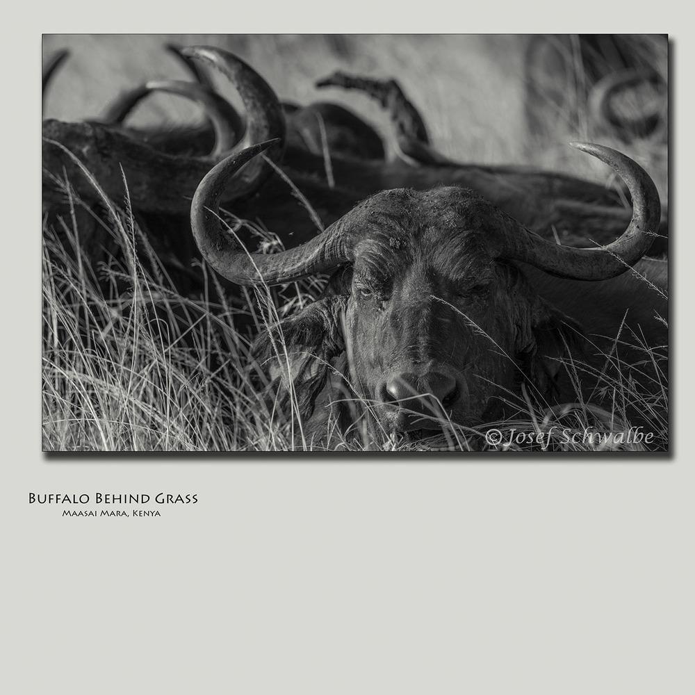 Buffalo Behind Grass